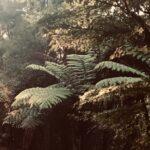 Ponga NZ Tree fern