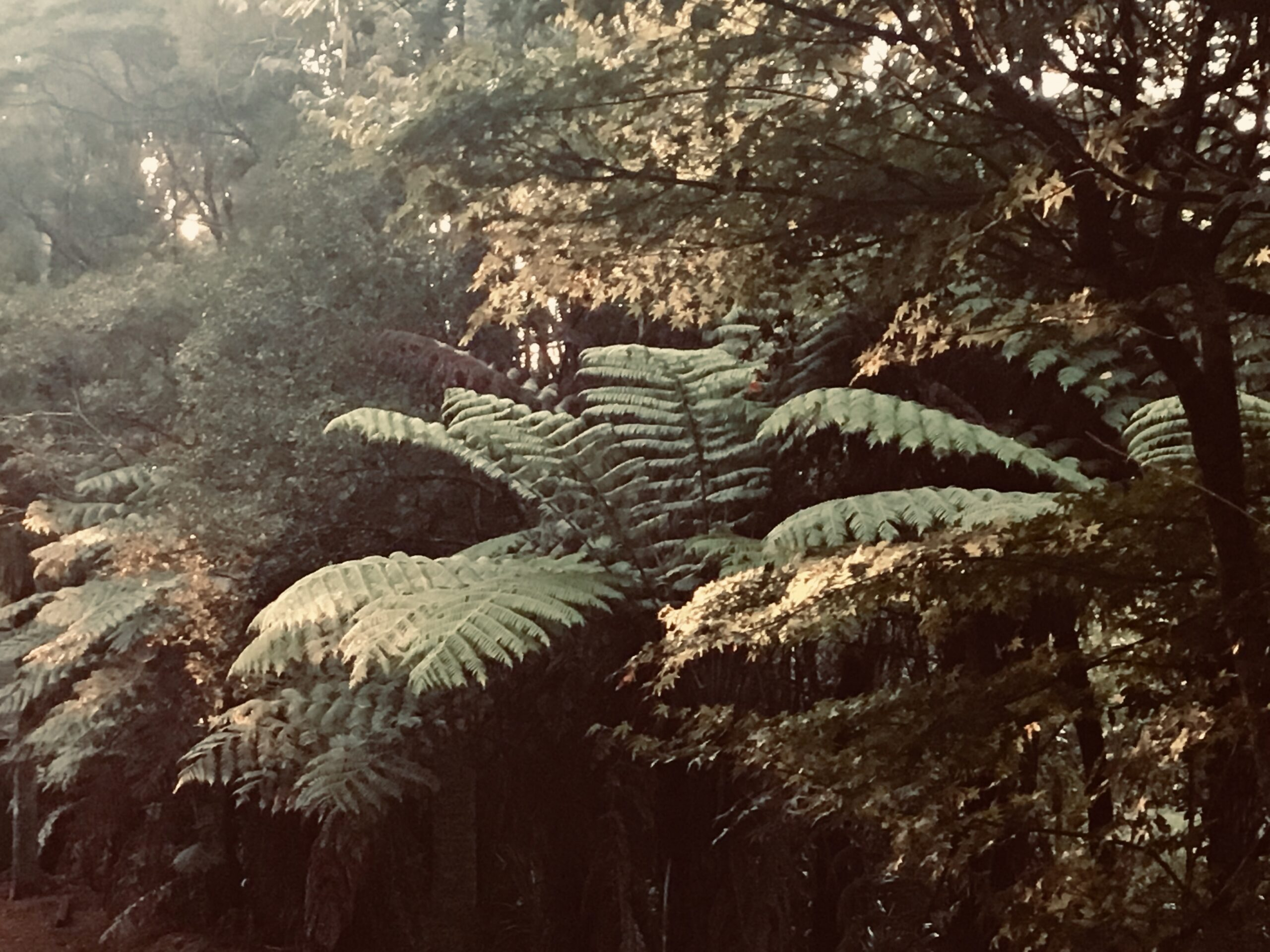 Ponga NZ Tree fern